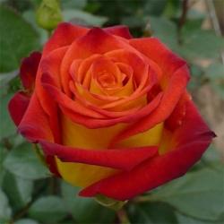 Роза чайно-гибридная Френдли