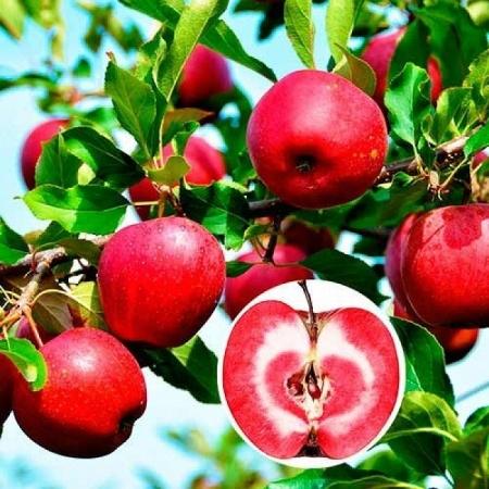 """Яблоня красномясая """"Эра"""""""