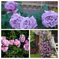 Роза плетистая Индиголета
