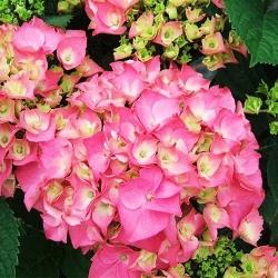 Гортензия крупнолистная Розита