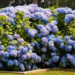 Гортензия Nikko Blue (Нико Блу)