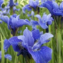 Ирис сибирский синий