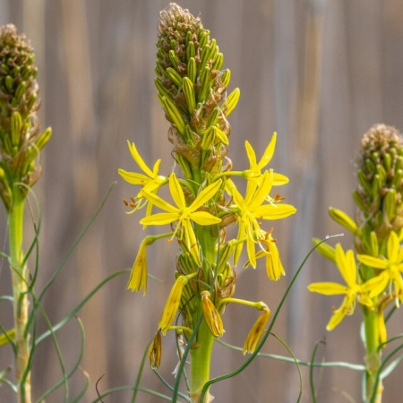 Асфоделина желтая \ Asphodeline lutea (L.) Reichb