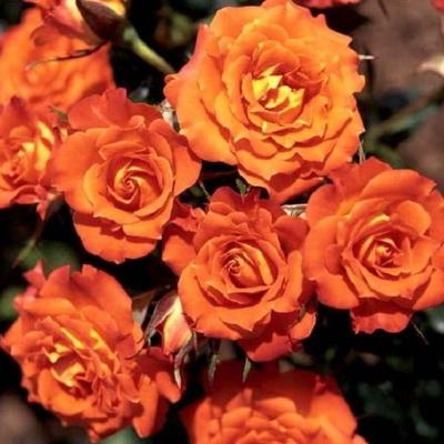 Роза бордюрная, спрей  Оранж Симфони