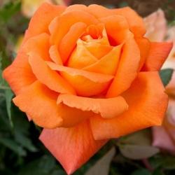 """Роза чайно-гибридная """"Луи де Фюнес""""\""""Louis de Funes"""""""