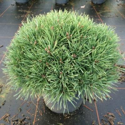 Сосна обыкновенная 35-40см (контейнер)\ Pinus sylvestris
