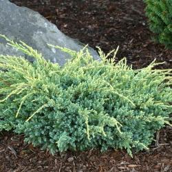 Можжевельник чешуйчатый Холгер \ Juniperus squamata Holger