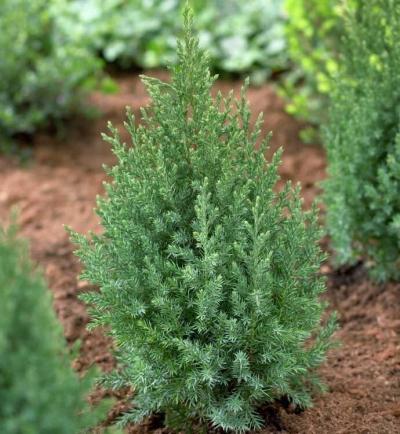 Можжевельник китайский Стрикта\ Juniperus chinensis Stricta