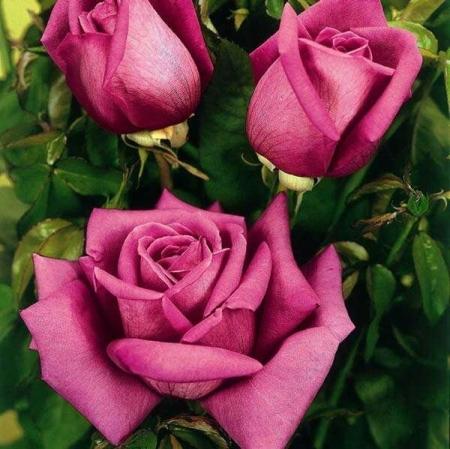Роза чайно-гибридная Дуфтрауш