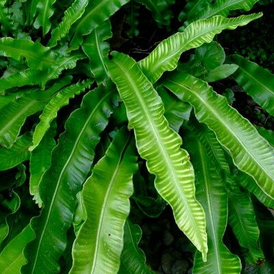 Папоротник листовой вечнозеленый