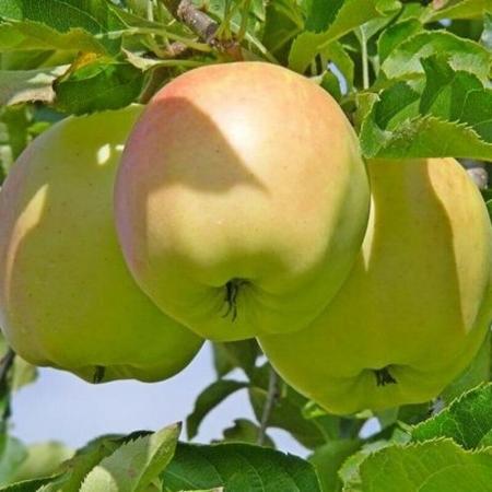 """Яблоня """"Пепинка золотистая"""""""