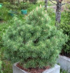Сосна обыкновенная\Pinus sylvestris (70-80см, контейнер)