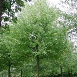 "Клён серебристый ""Лациниатум Виери""\ Acer saccharinum Laciniatum Wieri"