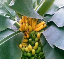Банан Киевский карликовый