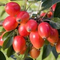 """Яблоня райская колоновидная """"Эселтине"""""""