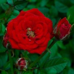 Роза миниатюрная Ред Мин/Red Min