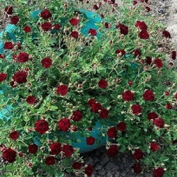 Роза бордюрная, спрей  Ред Вельвет