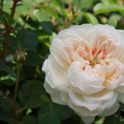 Роза английская Glamis Castle