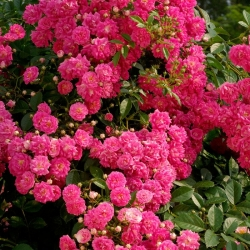 Роза плетистая Дороти Паркинс