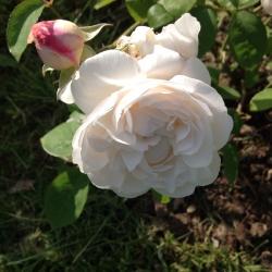 Роза английская Винчестер Кефедрал (шраб)