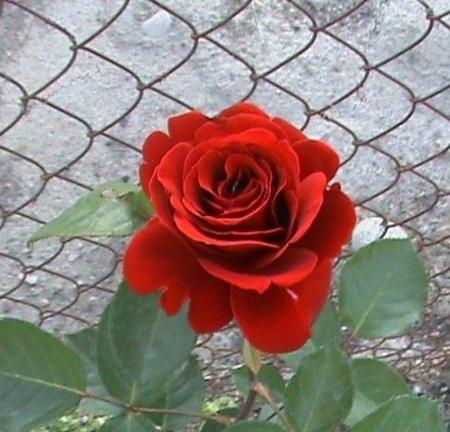 Роза плетистая Орфео