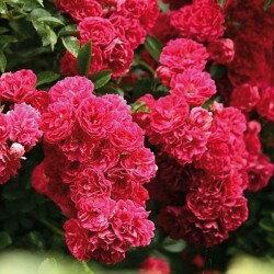 Роза плетистая Экцельза