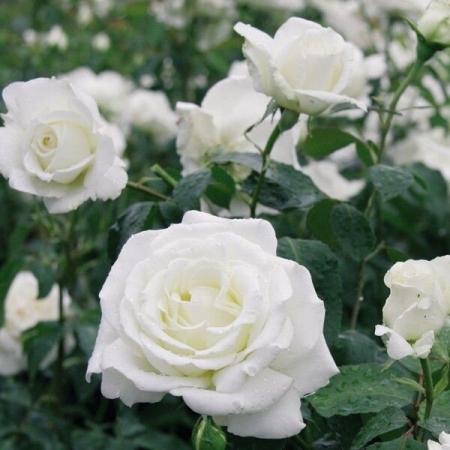 Роза чайно-гибридная Мемори Кордес