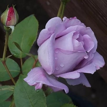 Роза чайно-гибридная Майцер Фастнахт