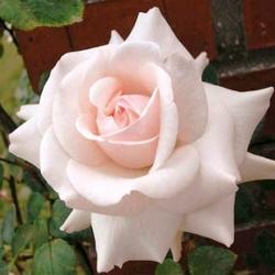 Роза плетистая Эмили Грей