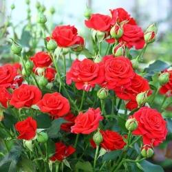 Роза бордюрная,спрей Ред Хард