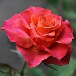 "Роза чайно-гибридная ""Апачи"""