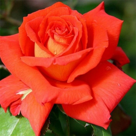 Роза чайно-гибридная Лас Вегас