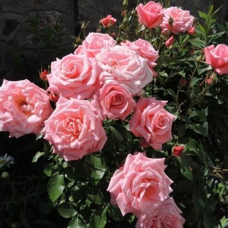 Роза чайно-гибридная Дезире/Dezire