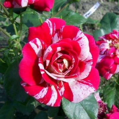 Роза плетистая Твист