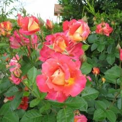 Роза плетистая Декор Арлекин