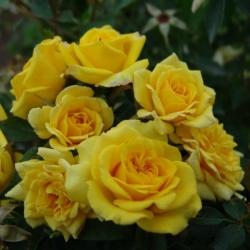 Роза бордюрная, спрей  Санрайз