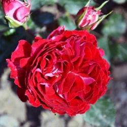 """Роза миниатюрная """"Гранатовый браслет""""\""""Garnet Bracelet"""""""