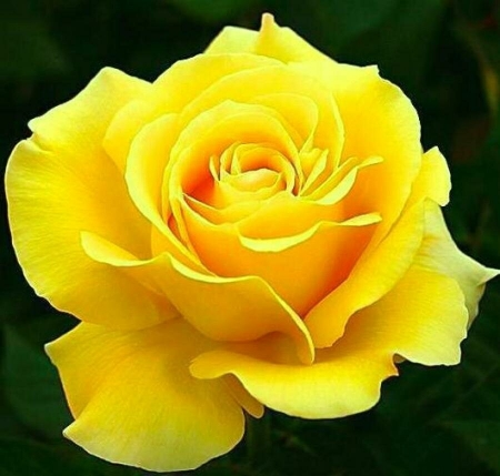 Роз чайно-гибридная Папиллон