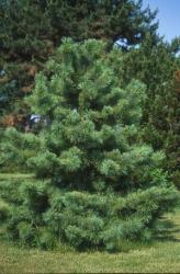 Сосна кедровая корейская \Pinus koraiensis