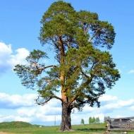 Сосна обыкновенная \ Pinus sylvestris (10-15см, контейнер)