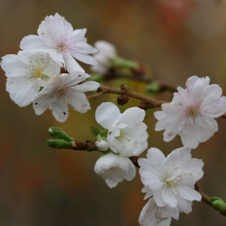"Миндаль белоцветковый ""Albiflora"""