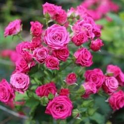 """Роза спрей/миниатюрная """"Розовый Спрей""""\""""Pink Sprey"""""""