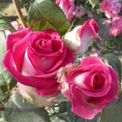 Роза чайно-гибридная Утро Парижа