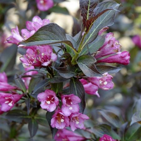 Вейгела цветущая Александра (контейнер)\Weigela florida Alexandra