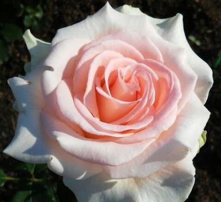 """Роза чайно-гибридная """"Вивальди""""\""""Vivaldi"""""""