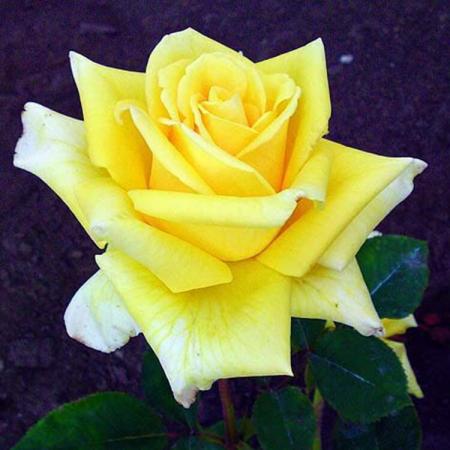 """Роза ч/г """"Желтый остров"""""""